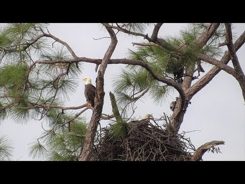 SWFL Eagles_ Architects H & M Are Building A Mansion Of A Nest 10-18-19