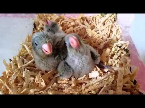Handfeed Quaker Parrots / Papagali Calugari crescuti cu mana
