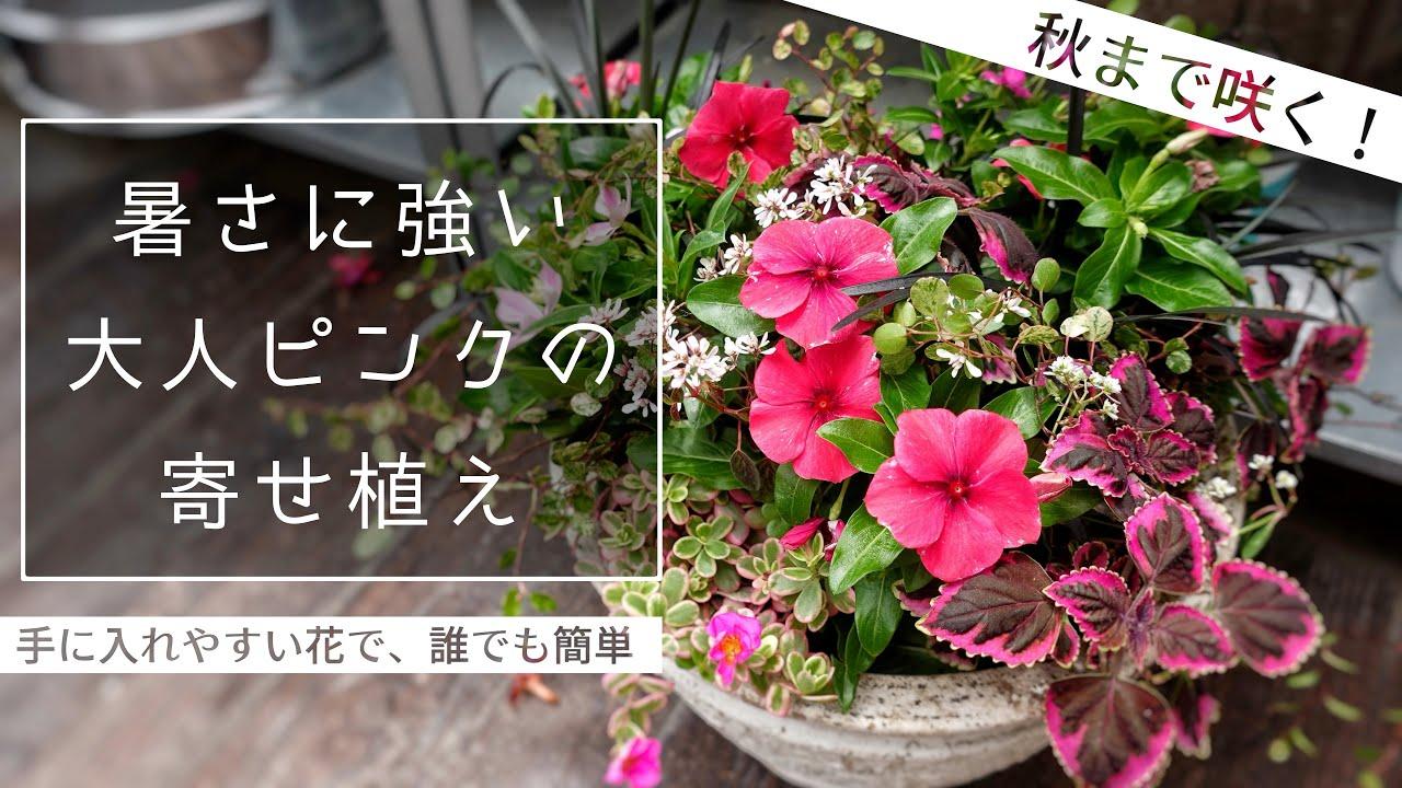 【誰でも簡単】夏に元気な花だけで、大人ピンクな寄せ植えを作ってみた【ニチニチソウ】