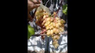 Создаём большие грозди винограда. Открытый грунт. Север.