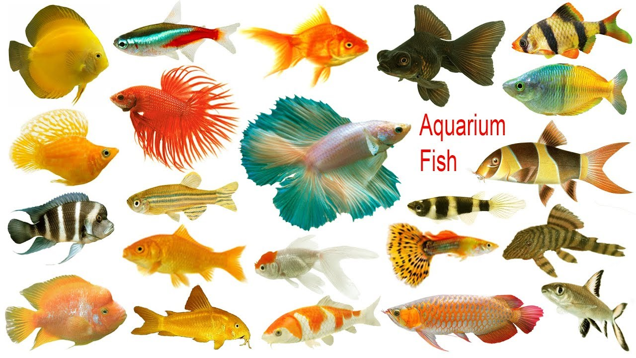 Aquarium Fishes Names Meaning Images
