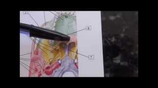 Anatomia Humana - Crânio