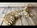BIGGEST House Cat in the World! F1 Savannah の動画、YouTube動画。