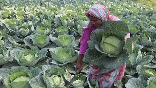 Beef And Cabbage Recipe Patta Gobhi Harvesting Farm Fresh Cabbage With Green Peas Curry Village Food