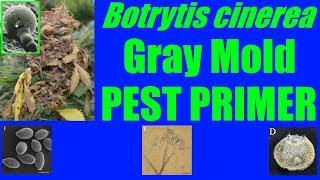 Botrytis cinerea [Gray Mold] #PestPrimer