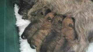 Cairn Terrier Welpen Bei Der Mama