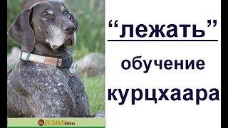 """""""Лежать"""" - обучение курцхаара.  Как быстро научить щенка лежать? """"Лежать""""- методы обучения"""