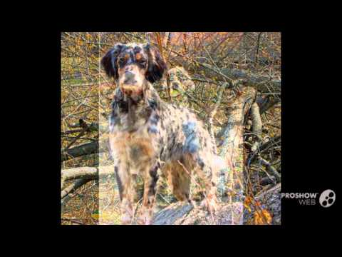 Llewellin Setter Dog breed