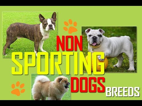 Non Sporting Dogs | Dog Breeds | Non sporting dog group | Pets | Dogs