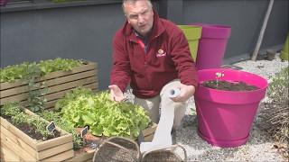 La récolte des salades