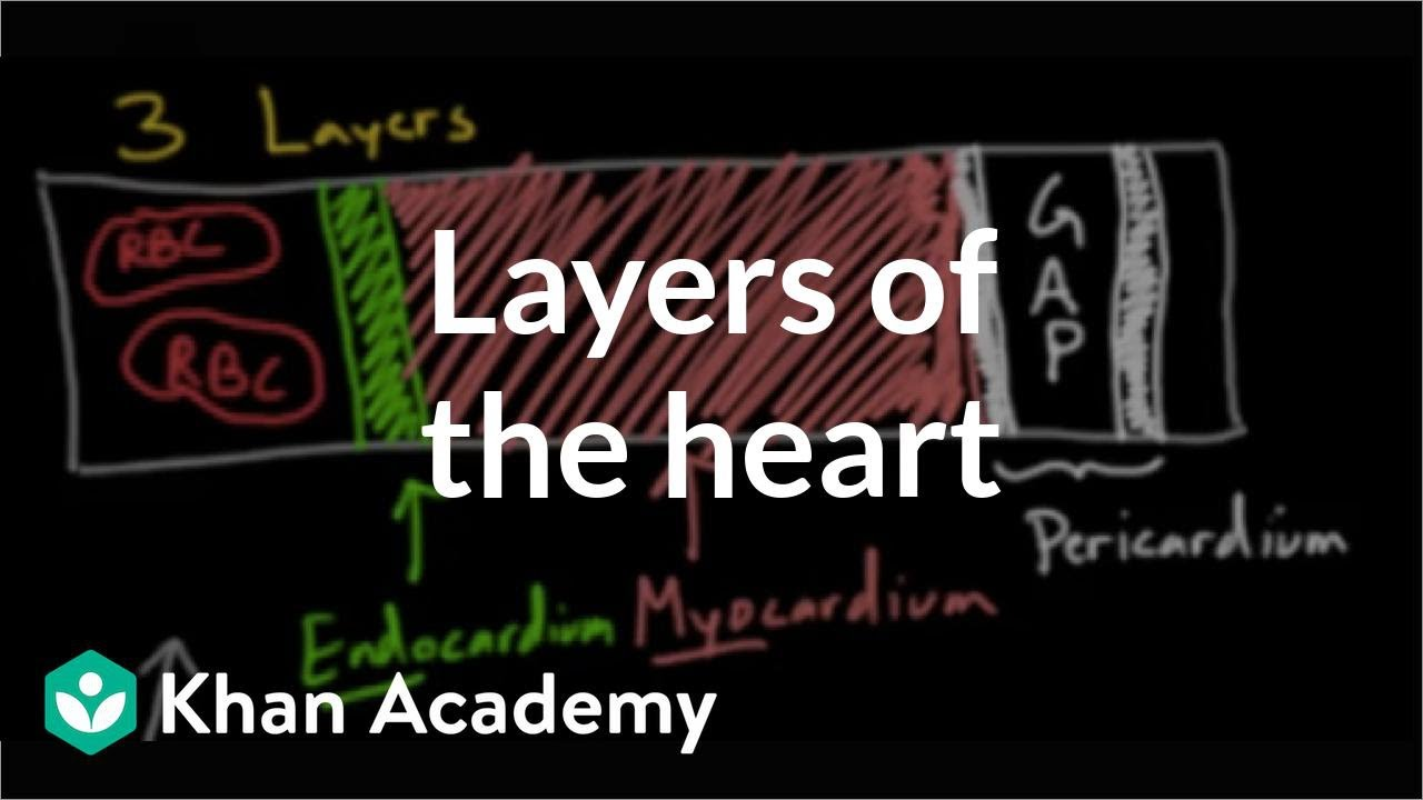 Layers of the heart | Human anatomy and physiology | Health & Medicine |  Khan Academy