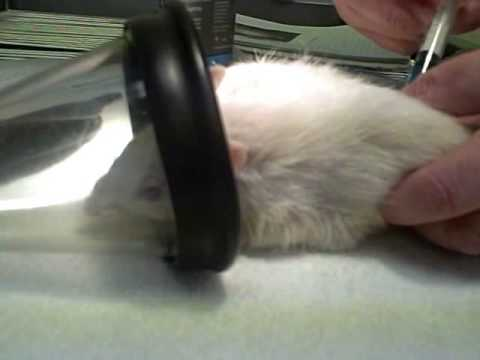 Soft Goodbye - Proper Rat Euthanization by a Vet