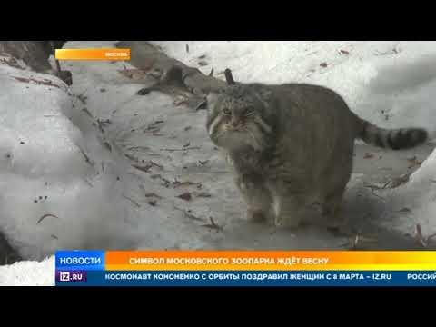 В Москве пытаются определить приход весны по урчанию манула