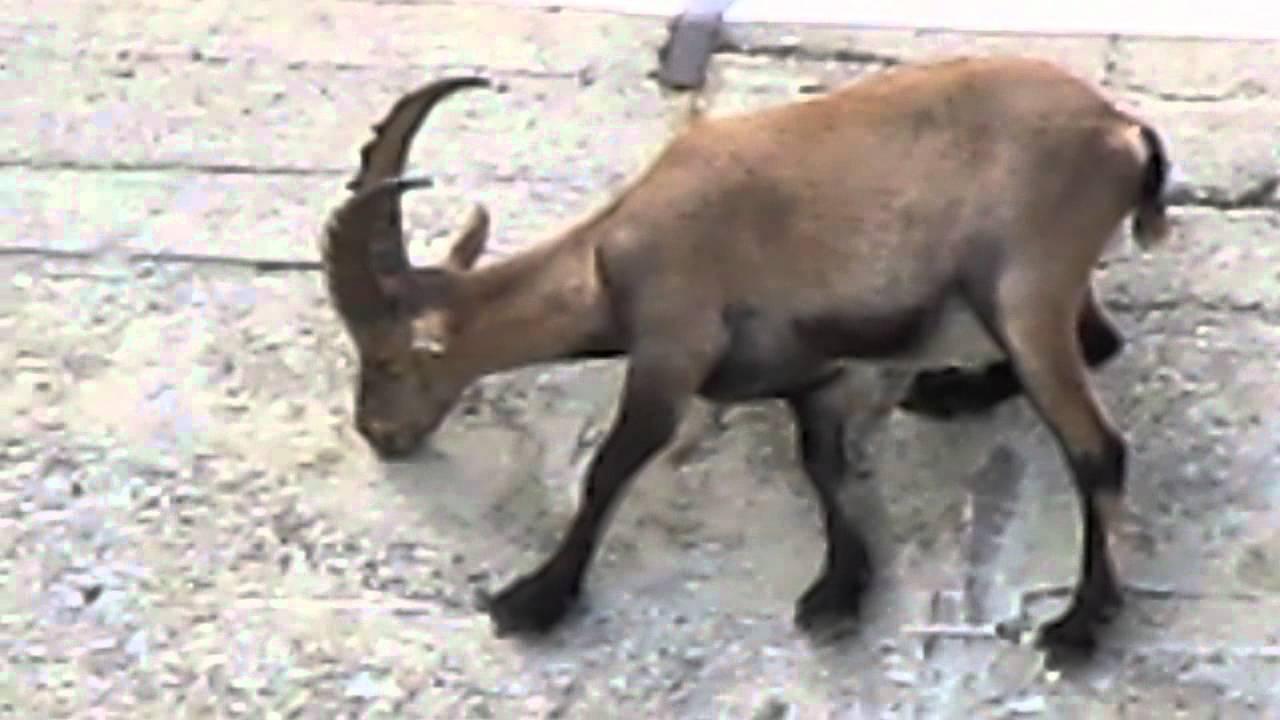 stambecchi sulla diga di cingino alpine ibex graze on
