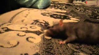 Возможные симптомы у крысы при внутреннем отите 1