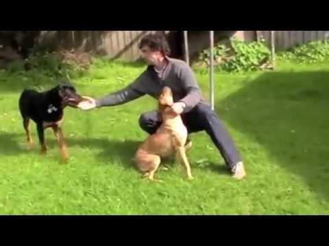 Dog Aggression Towards Other Dogs Put a Stop to Dominant Behavior & Dog Aggression NOW!
