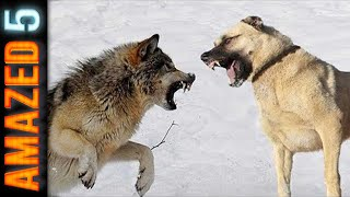 These 5 Dog Breeds can Defeat Wolves easily