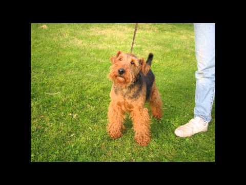 Вельштерьер/Welsh Terrier (порода собак HD slide show)!
