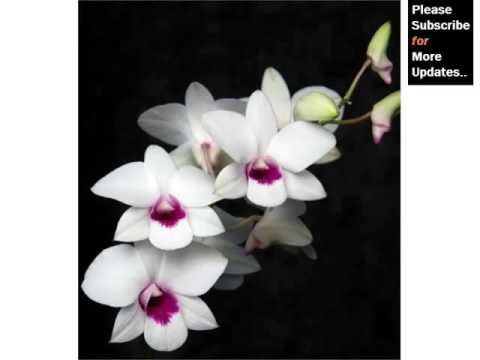 White Dendrobium Orchids Orchid Breed Identification By Picture