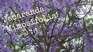Jacaranda Mimosifolia In Bloom