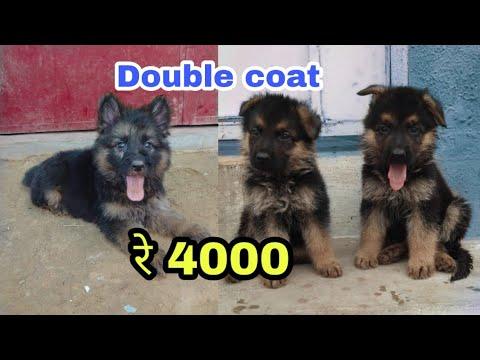Double coat German shepherd price difference