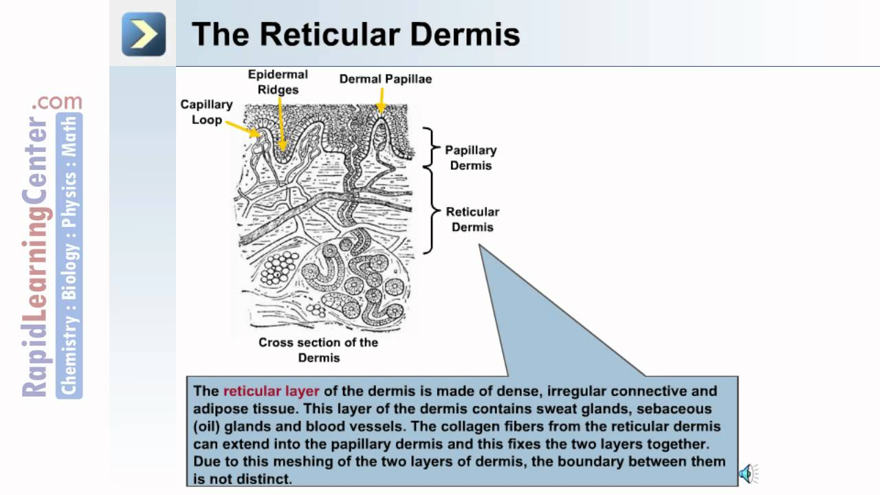 The Integumentary System What Is The Dermal Layer Of The Skin