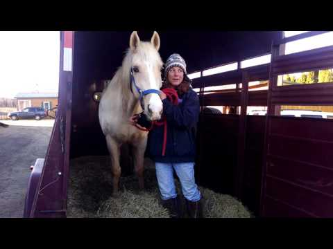Saving Riley from Sugarcreek Livestock Auction, Kill-buyer to Sanctuary at Peaceful Acres Horses