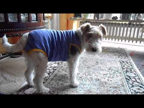 Cute dog can't walk | Fox Terrier Mucki