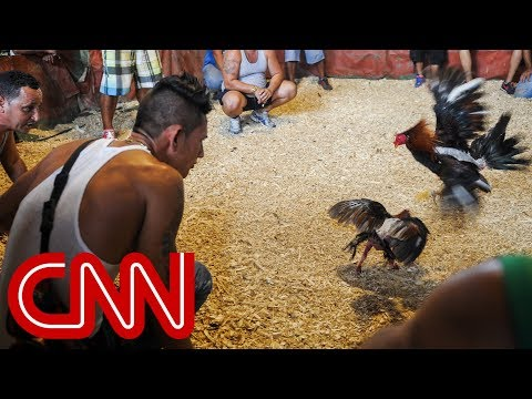 Cockfighting in Cuba: A legal gray area