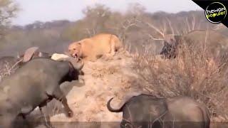 Lebih Ganas Dari Singa! 10 Hewan Pemakan Tumbuhan Paling Berbahaya Di Dunia