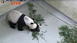 天天ㄏㄤ圓仔 網路重播(錄影)-20131124 Baby Giant Panda Yuan-Zai day141