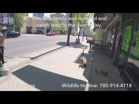 Canada Goose babies reunited with their mother in downtown Edmonton