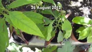 Avocado Tree Problems