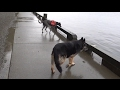 Our Pharaoh Hound is CRAZY!!! の動画、YouTube動画。