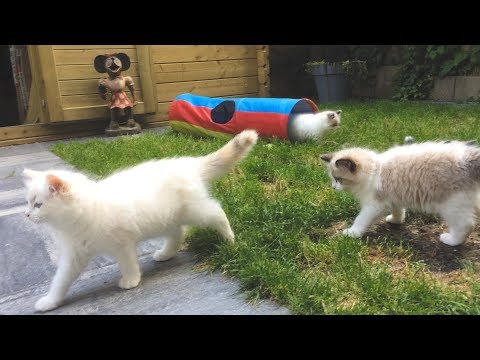Ragdoll kittens playing in the cattery garden - Binx with white tail tip