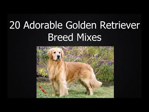 20 Adorable Golden Retriever Breed Mixes
