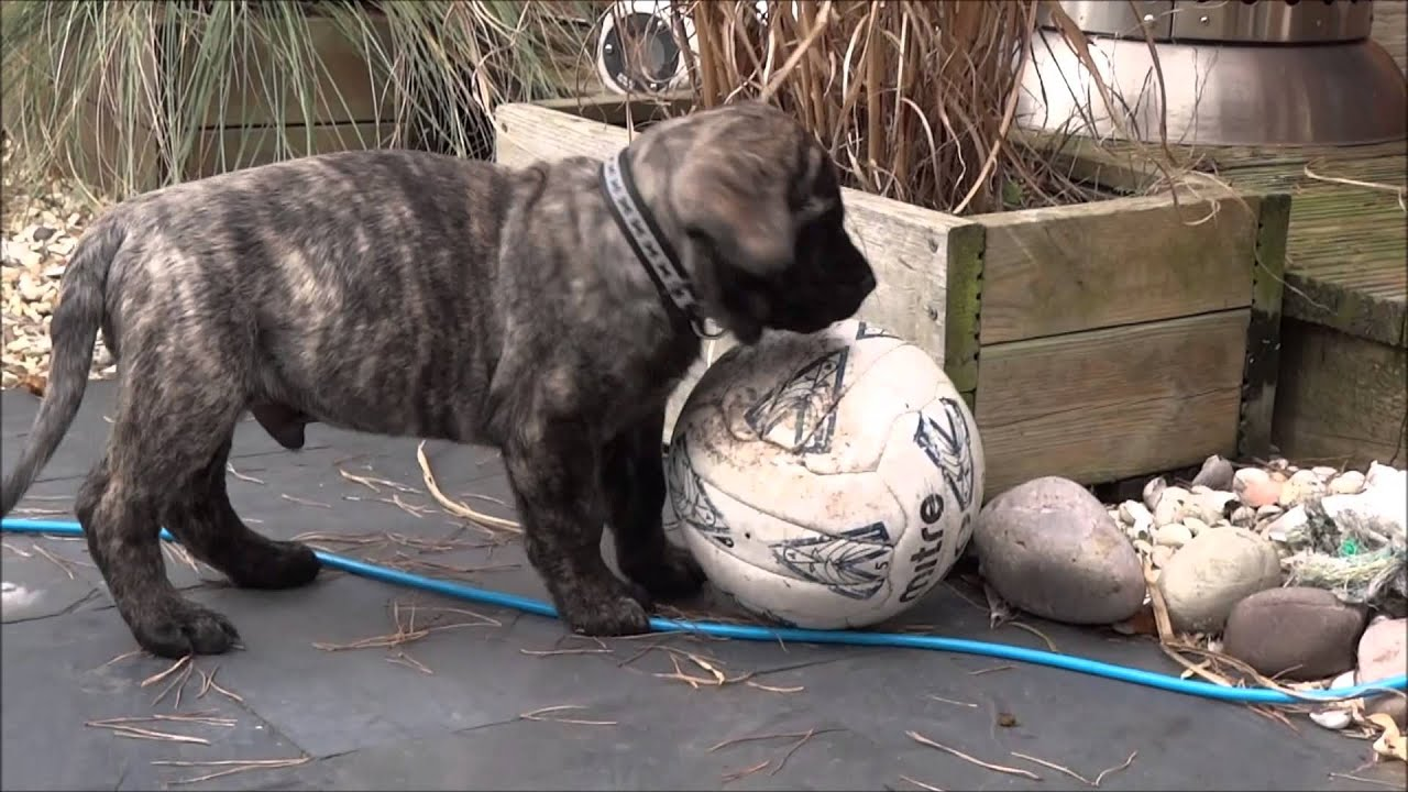 Diesel the 2 month old english mastiff puppy plays outside for the