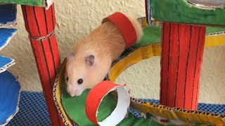 Funny Hamster Jerry running Maze with  bridge