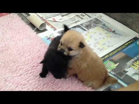 Puppy Love mittelspitz