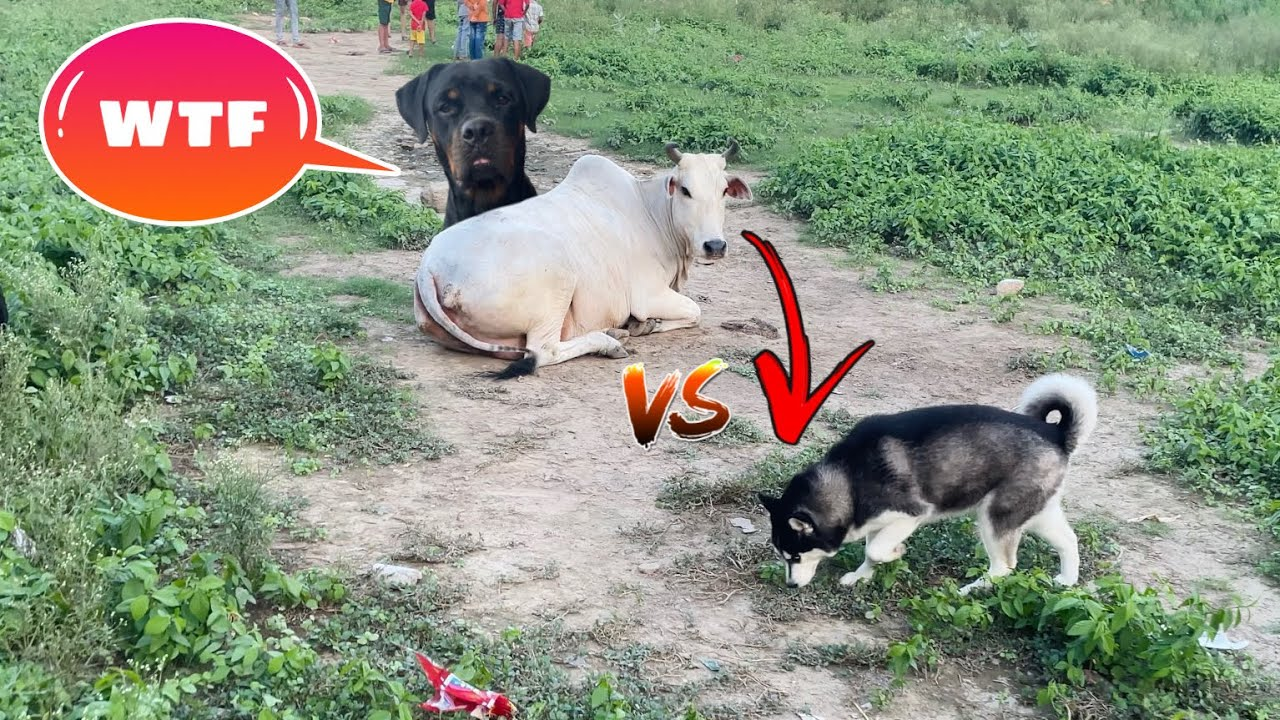 Cheeni Vs Cow 🐮. Dog can talk part 136 || Roxycheeni || Husky || Rottweiler ||Review reloaded