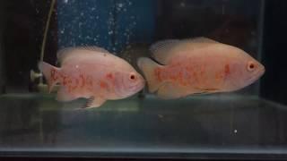 アルビノタイガーオスカー☆観賞魚図鑑#041 学名Astronotus ocellatus var アルビノ 検索動画 23