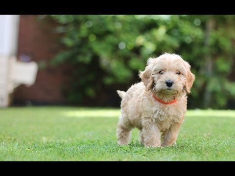 Introducing... Dexter the Cockapoo