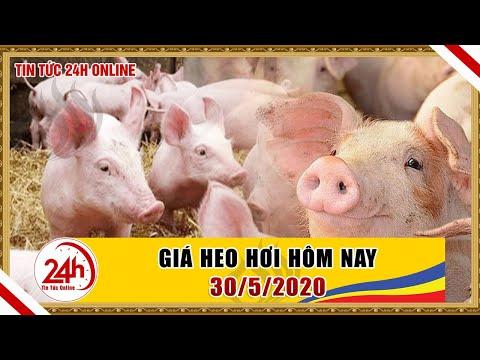 Giá Heo Hơi Ngày Hôm Nay 30/5/2020 | Giá Lợn Hơi Bật Tăng Trở Lại | Tin Tức 24h