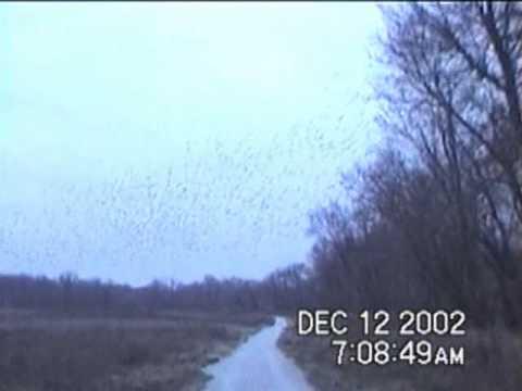A Tremendous Murmuration of Starlings (Columbia, MO) (12/12/2002)