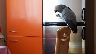 Наблатыканный попугай матершинник ругается жопка Жако