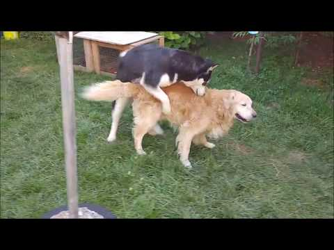 Alaskan Malamute shows some lovin' to the Golden Retriever