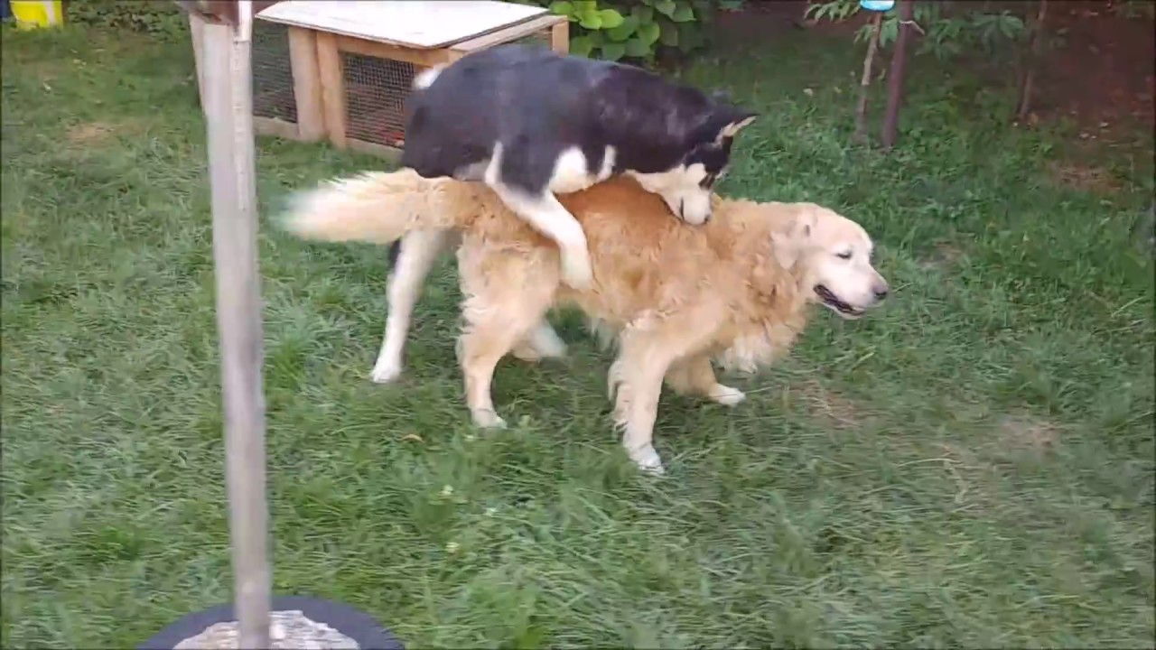 Alaskan Malamute Shows Some Lovin To The Golden Retriever Youtube