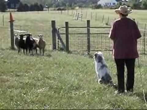 Ella the Australian Shepherd Herding Lesson