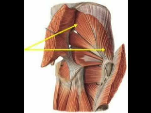Músculos de la region del gluteo-plano profundo, medio y superficial ...