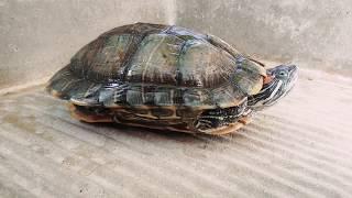 Tortuga Japonesa o Tortuga Orejas Rojas, Sexado de macho y hembra